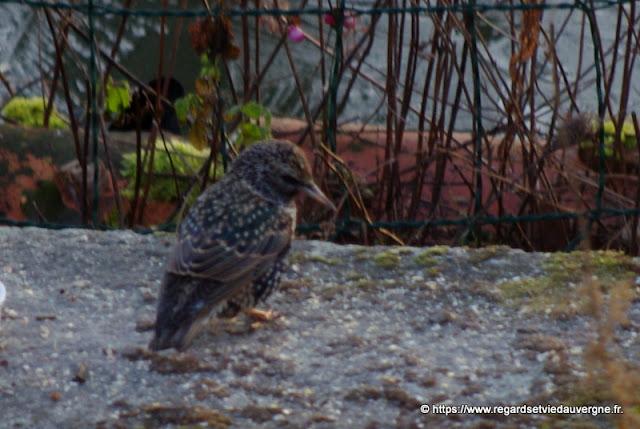 Oiseaux du jardin :  étourneau