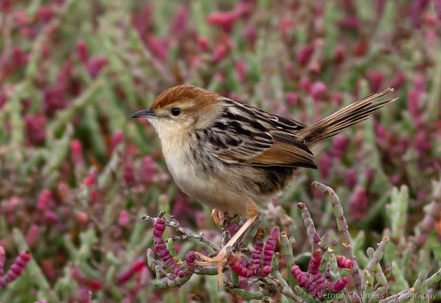 Levaillant's Cisticola Table Bay Nature Reserve Milnerton Vernon Chalmers Photography