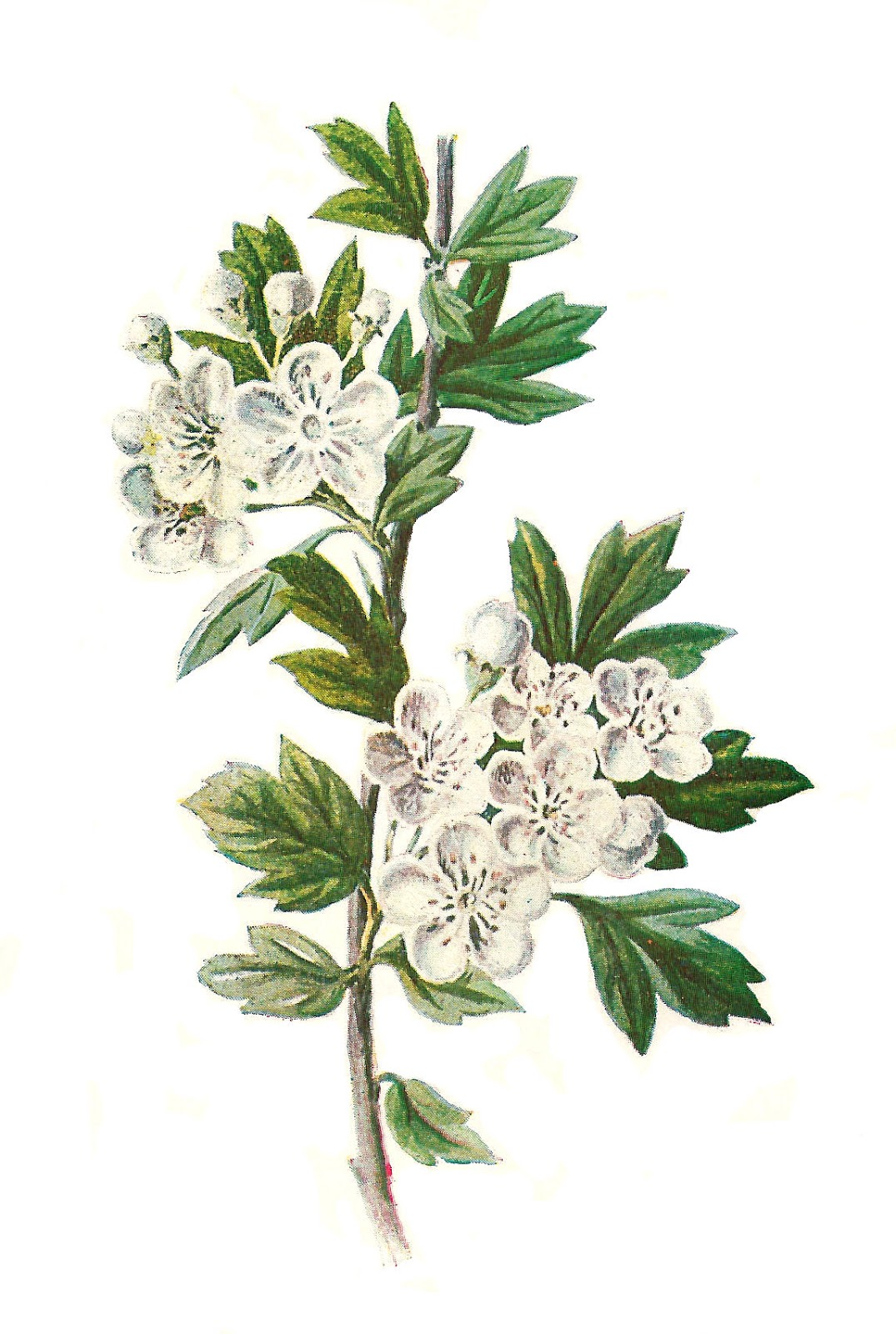 Botanical Hawthorn Drawing