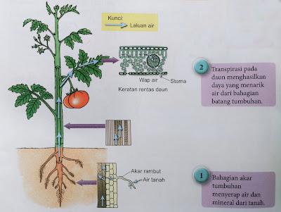 Transpirasi membantu pengankutan air dari akar ke daun.