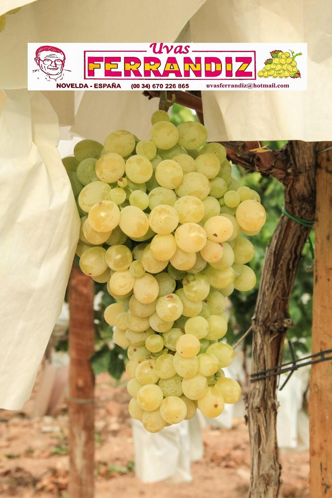 Uvas ferrandiz la vendimia de la uva de mesa embolsada ya comez - Variedades de uva de mesa ...