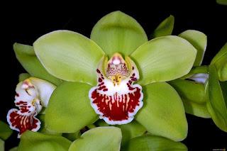 Tanaman Hias Shenzhen Nongke Orchid