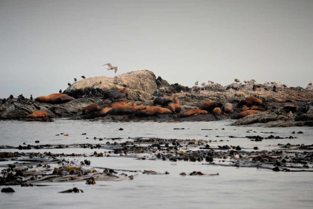 SAN  JUAN ISLAND SEALS