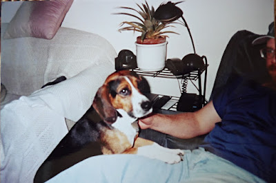 Beagle leaning on his human's chair
