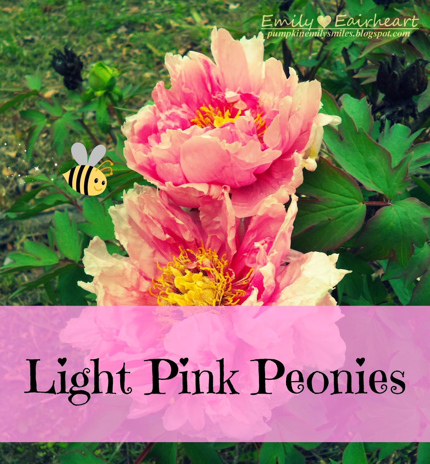 Image of two pink Peonies and image says Light Pink Peonies