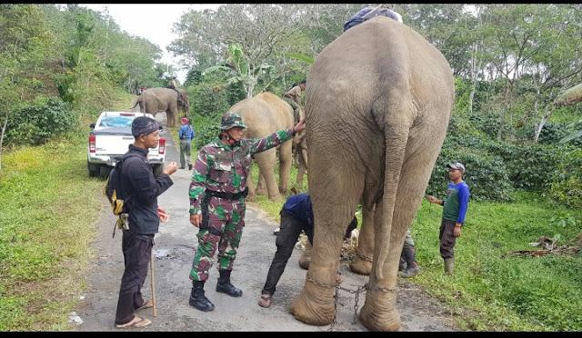 Koramil Dampingi BKSDA Menjinakan Gajah Liar