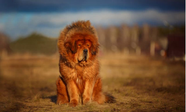 anjing Mastiff Tibet