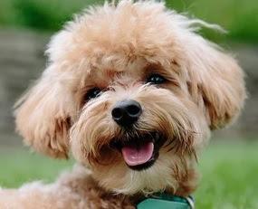 Akita Inu Poodle mix (AkiPoo) Temperament, Size, Adoption, Lifespan