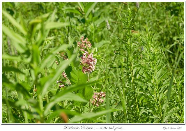 Wachusett Meadow: ... in the lush green...