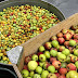 Portland Cider Company Community Cider, made with neighborhood apples, starts collection July 29th thru September 28th