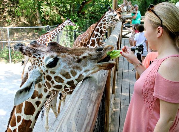 cho hươu cao cổ ăn tại Giraffe Feeding
