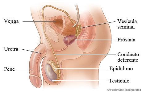 funcion de la vejiga urinaria en el aparato reproductor masculino