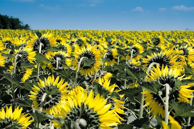 sekrety kwiatów słoneczniki
