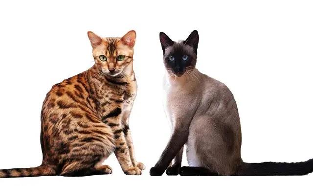Les chats du Bengale