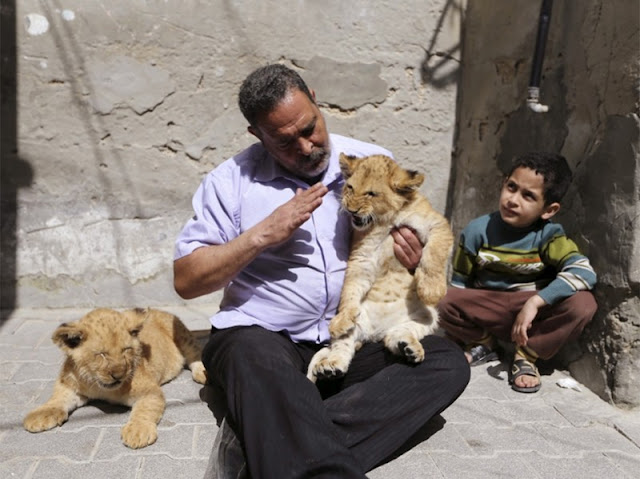 Palestinian Saad Eldin al-Jamal with a large family lives in the Al-Shabor Palestinian refugee camp in Rafa, a town in the south of Gaza. Recently his childhood dream came true: he bought two cubs, who were named Mona and Alex. Most of all his grandchildren are welcomed these cubs by the numerous grandchildren of al-Jamal and neighboring children.