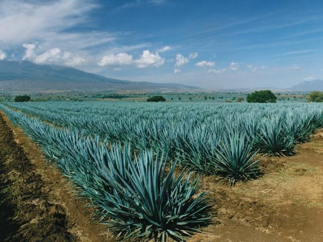 Paesaggio di Agave ed Antiche Industrie per la Produzione di Tequila