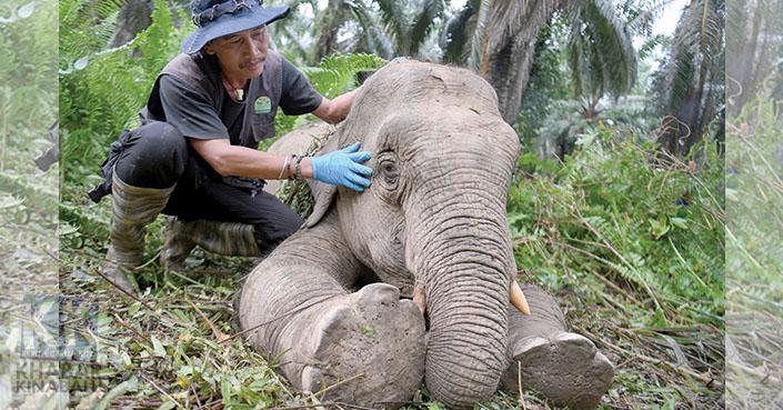 Gajah Pygmy Borneo | 'Hilang' Satu Demi Satu - Sayangilah Pygmy