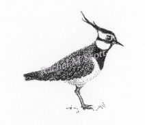 Lapwing stipple illustration by Rachel M Scott