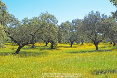 dehesa extremeña, encinas, quercus ilex, paisajistas en Extremadura