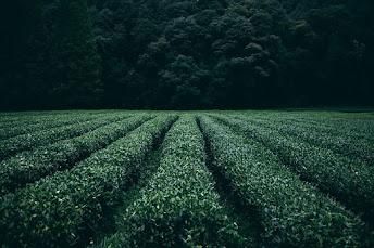 about tea garden in hindi