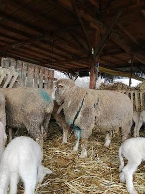 * Koyun Hamile Olduğu Nasıl Anlaşılır