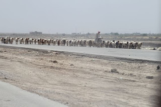 While driving from Baghdad to Basrah in Iraq through the desert, I came across a goat herder riding a donkey. Something you don't see everyday.