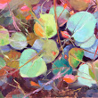 Bunches of Eucalyptus Leaves - A New Series.