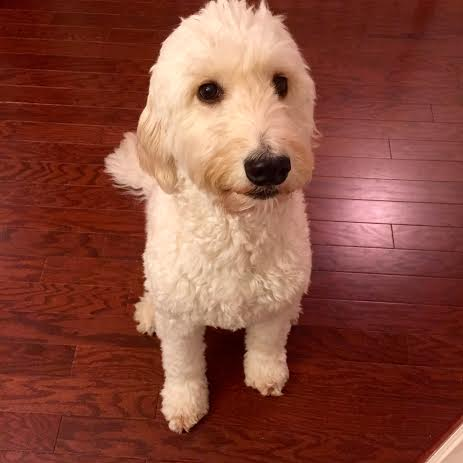 Goldendoodle Chewy Review