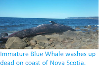 https://sciencythoughts.blogspot.com/2019/09/immature-blue-whale-washes-up-dead-on.html