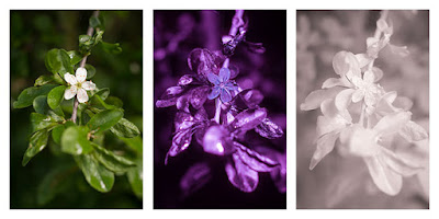 Prunus spinosa (Blackthorn; Sloe) flower photographed in visible light (left), ultraviolet (middle), and infrared (right)