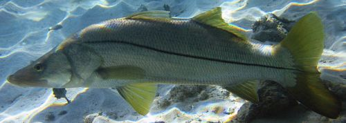Foto de um peixe robalo flexa no fundo do mar