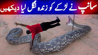 Python Snake Urdu Documentary Pythonidae Saanp Ki Kahani World's Biggest Snake