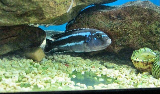 Jenis dan Cara Memelihara Ikan Cichlid Afrika