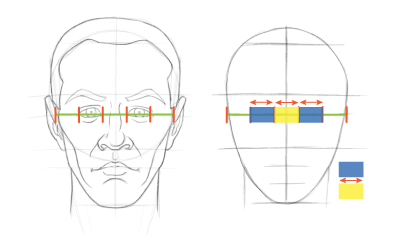 Head proportions chart: The space between the eyes is about the same width as the width of an eye.