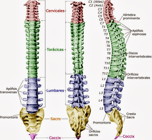 Columna vertebral y sus articulaciones