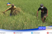 Puluhan Hektar Tanaman Padi Rusak Akibat Hama Tikus