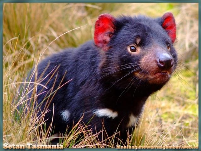 gambar hewan setan tasmania