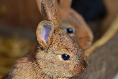 Kelinci coklat