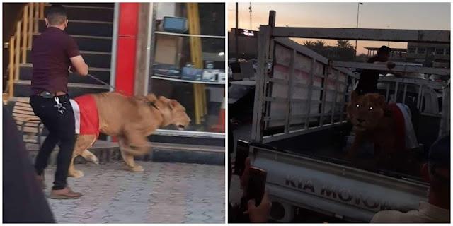 Greget, Demonstran Irak Bawa Singa untuk Lawan Anjing Polisi