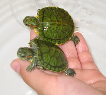 Rules of the Jungle: The Decision of Having a Turtle as a Pet