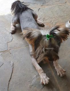 Beautiful Yorkie puppy Angus in Gauteng