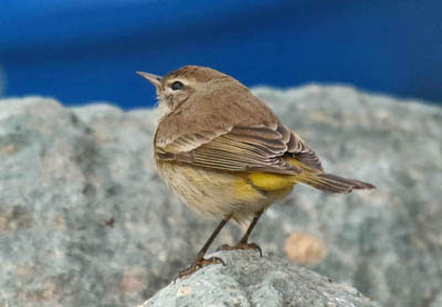 Photo of Palm Warbler on a rock