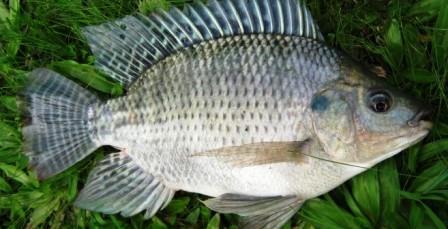 Cara Mudah Budidaya Ikan Nila di terpal