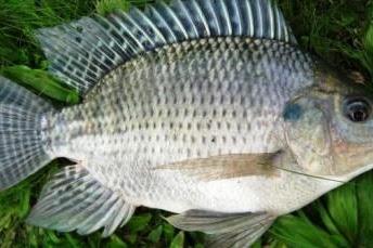 Cara Mudah Budidaya Ikan Nila di Beberapa Jenis Tempat Untuk Pemula