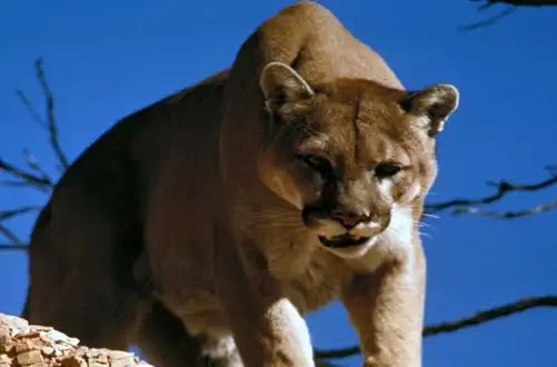 The Video of mountain lion stalking hiker goes viral
