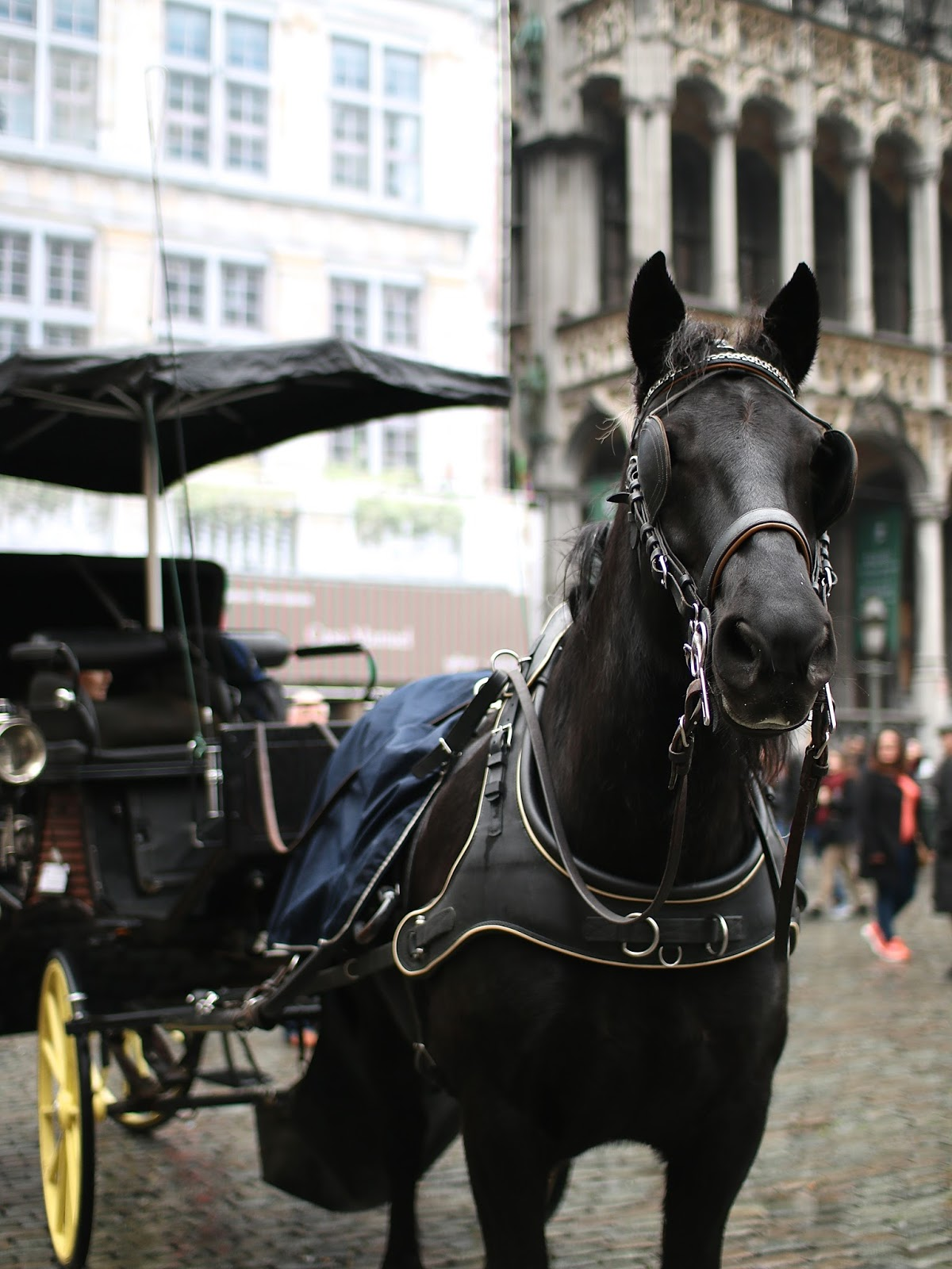 beautiful horse standing in brussels