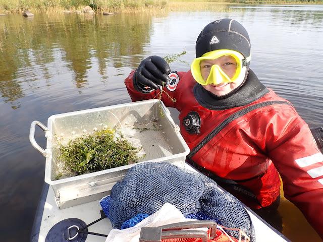 Kuivapukuun ja maskiin pukeutunut henkilö seisoo vedessä ja esittelee SUP-laudan päälle sihtiin nostettua kasvia