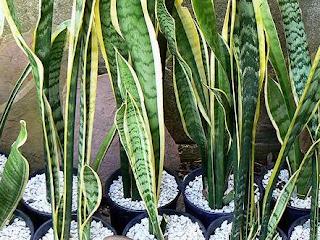 http://danahauses.blogspot.com/2017/10/cara-menanam-tanaman-hias-lidah-mertua.html