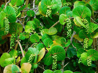 #payabay, #payabayresort, sea grapes, flora, delicious, paya bay resort, roatan, local culture,