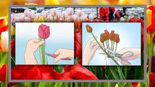 Cara memanen bunga tulip dengan benar